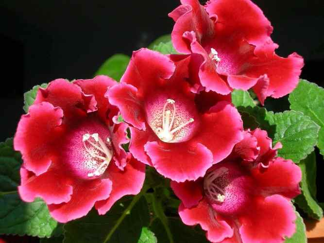 Comment cultiver le Gloxinia
