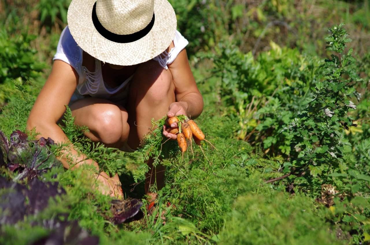 jardinage - rcolte de carottes