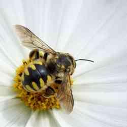reconnaitre abeille guêpe et bourdon