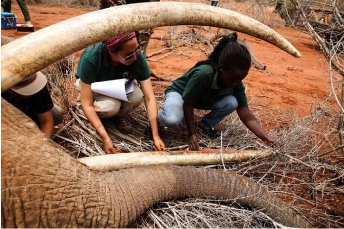 Measuring an elephants tusk during the collaring operation (photo credit Naiya Raya)