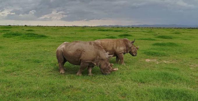 Najin and Fatu, the last two northern white rhinos