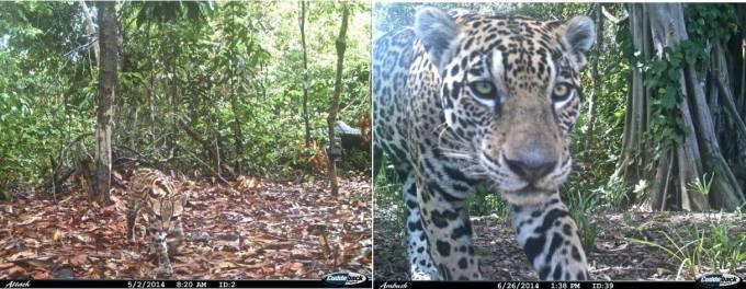 Left: Ocelot captured by camera traps in the study area. Credit: Valeria Boron. Right: Jaguar captured by camera traps in the study area. Credit: Valeria Boron.