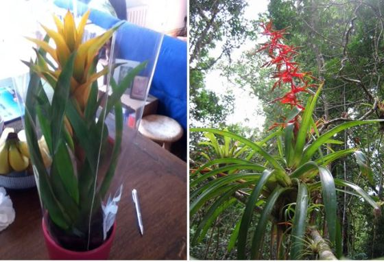 A potted bromeliad compared with its wild relative –first photo by Alan Myers, flickr CC, second photo courtesy of Dr. Merljin Jocqué.