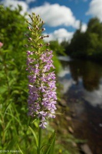 purple-fringed-orchis-Habenaria-fimbriata-2027