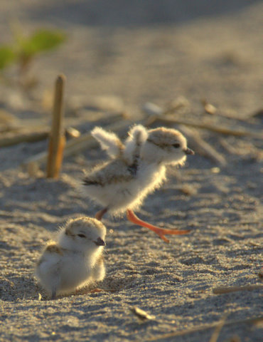 Piping plover chicks exercise their wings. © Bill Dalton