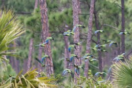 Flock of Bahama Parrots in Flight on Abaco. © Tom Reed