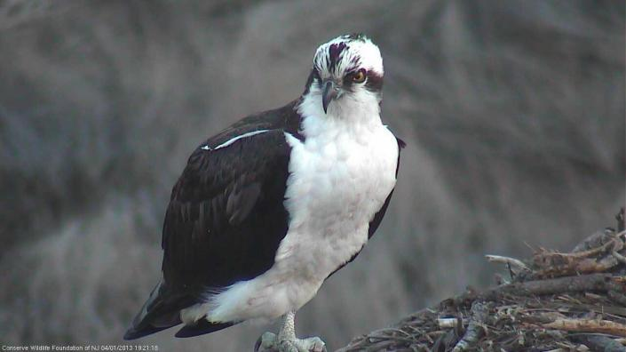 Male osprey at nest #2835