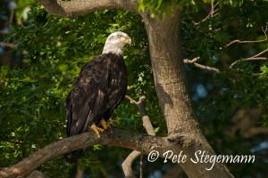 Eagle banded C/84 © Peter Stegemann