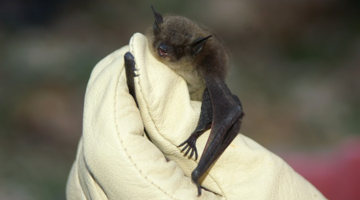 A little brown bat, one of several bat species which will be added to the state's list of Endangered species. Photo by MacKenzie Hall.