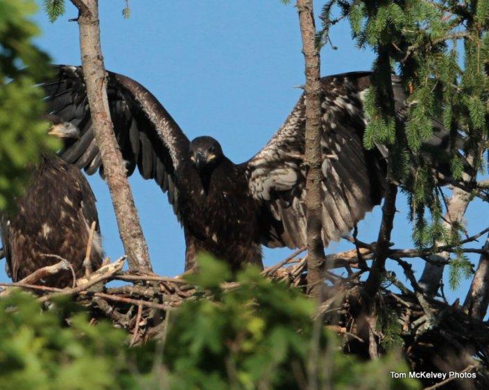 Shark River eagle chick © Tom McKelvey