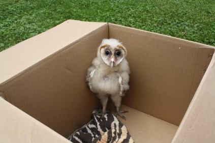A young Barn Owl, healed of a leg fracture and about to be returned to its nest.  Photo by MacKenzie Hall