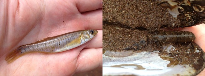 Left: a killifish with attached glochidia.  Right: a crayfish taking shelter within a mussel shell.  © Mike Davenport