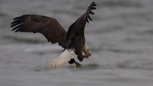 NJ banded eagle at Conowingo Dam, MD © Kevin Smith