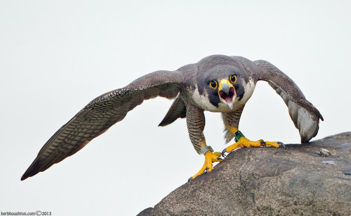 The fierce look of a female peregrine. © Herb Houghton