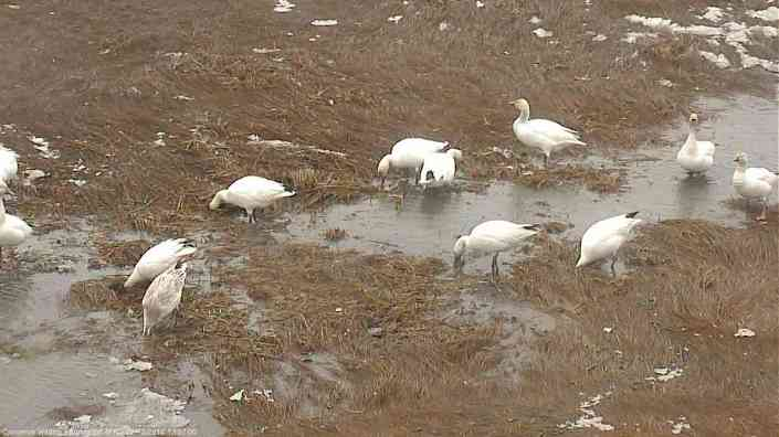 More snow geese...