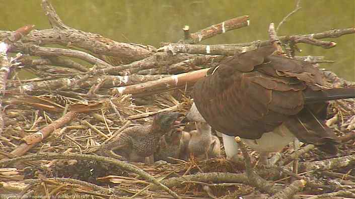 Feeding time is non-stop with ospreys!