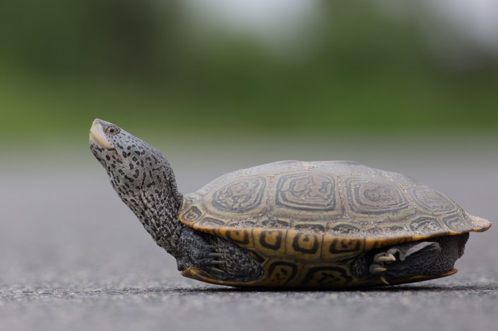 A female terrapin pauses while crossing Great Bay Blvd in Little Egg Harbor, NJ.