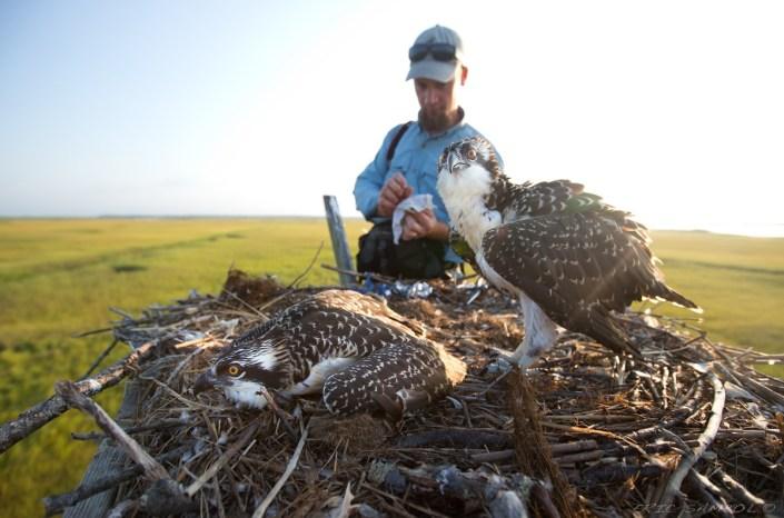 Ben Wurst prepares to band two osprey nestlings for future tracking. Photo courtesy Eric Sambol