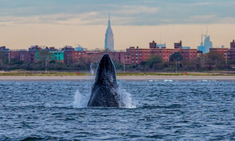 A humpback whale – named Jerry by researchers – spyhops off New York City. Photograph: Artie Raslich/Gotham Whale
