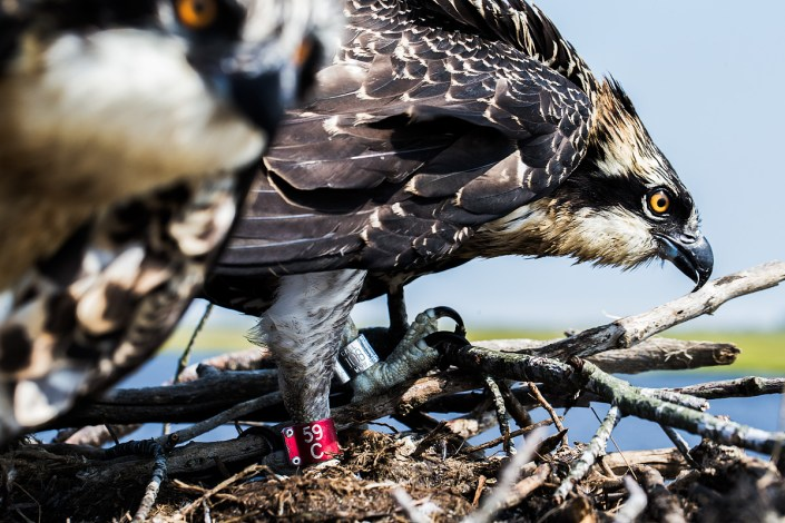 A pair of ospreys produced at a nest on Barnegat Bay were banded with a red auxiliary band. © Northside Jim