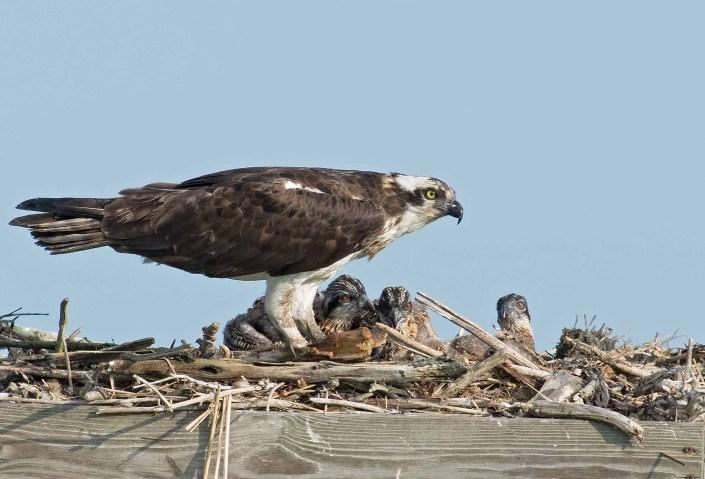 Edwin B. Forsythe NWR osprey family. © Tom Sangemino