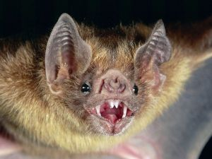 Bloodsuckers And Blind Hardly Exploding The Myths Of Bats