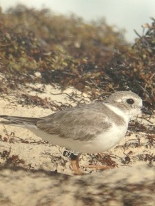 "Black Flag ""K2"", a Canadian breeder and one of six color marked piping plovers observed on wintering grounds on Abaco, The Bahamas, this past week by CWFNJ's Todd Pover and Stephanie Egger."
