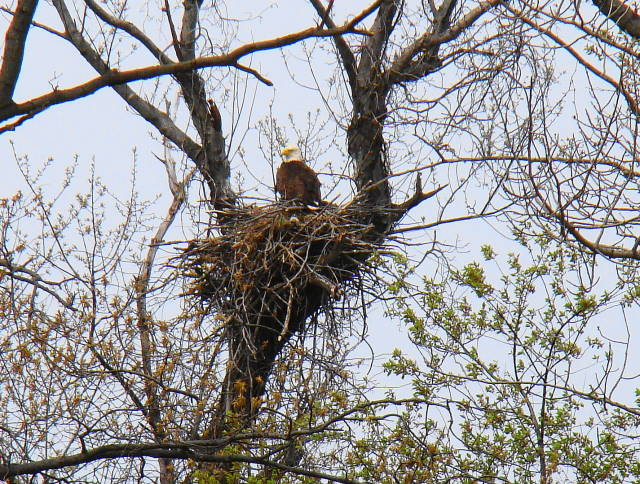 Pilesgrove nest 4/19/2009@J. White