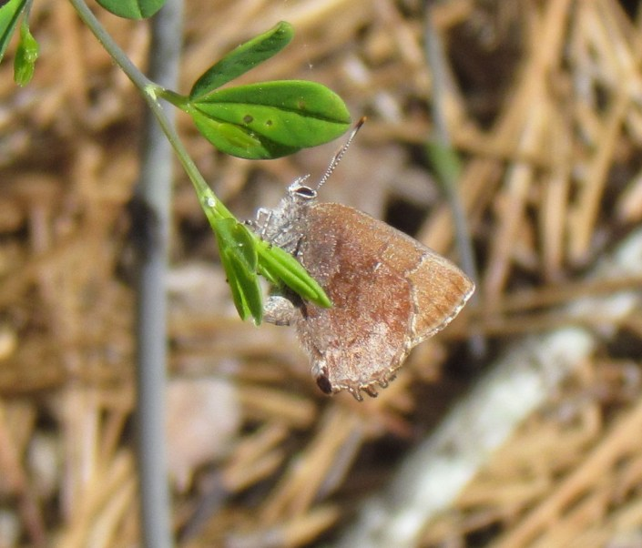 Frosted Elfin with recently deposited egg on Baptisia plant@Rober Somes