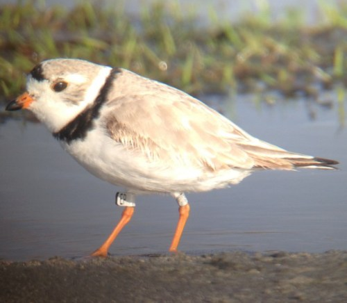 Grey Flag EP, a marked Canadian piping plover  and one of the stars of the weekend.