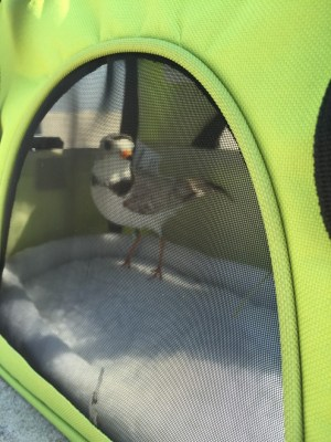 """A male piping plover in """"holding pen"""" awaiting his debut sporting his new bands and transmitter to be used for tracking."""