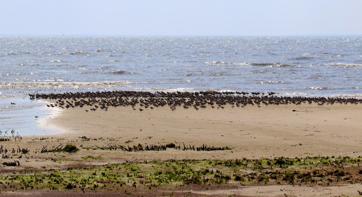 Red knots roost on a sandy spit on Egg Island, one of the largest contigous area of marsh in the mid Atlantic.   Half of the bay's shorebird population roost on Egg Island and than feed on the various beaches around Fortescue.