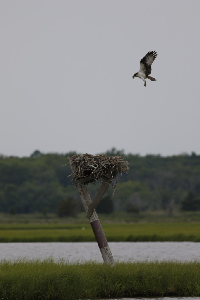 Female hovers over her nest to check on her young (3) after we surveyed her nest. This is one of the oldest nests in NJ. Photo by Ben Wurst.