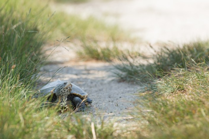 A adult female northern diamondback terrapin searches for a suitable nest site along Great Bay Blvd. Photo by Ben Wurst