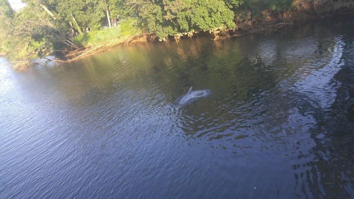 South River Dolphin Photo by David Wheeler