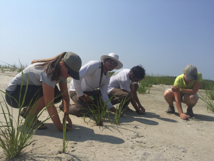 CWF beach nesting bird crew at Edwin B. Forsythe National Wildlife Refuge release piping plover chicks after being weighed and measured.