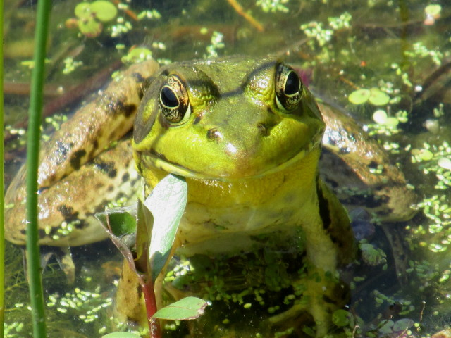 Green Frog photo by CAMP volunteer Lorraine Catt