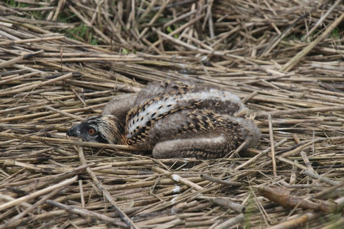 osprey chick found on ground July 6th, 2015, Avalon @ M. Kolk