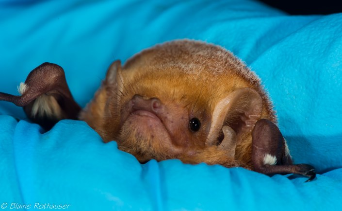 Red Bat photo by Blaine Rothauser