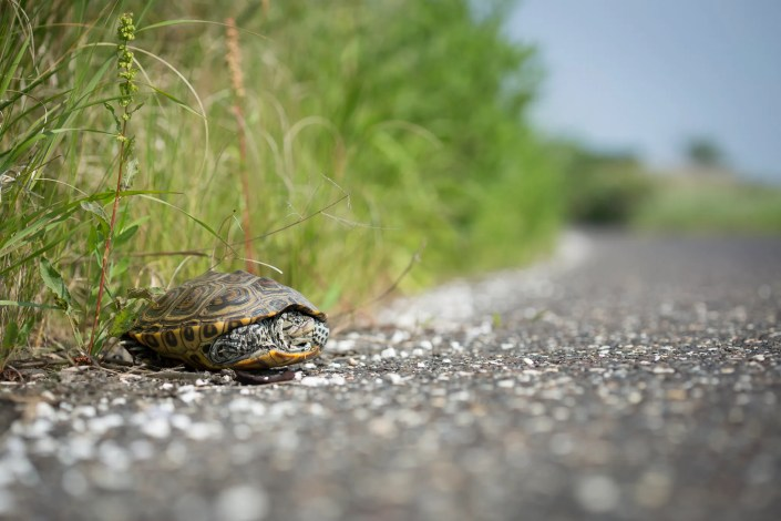 An adult female terrapin on the edge of Great Bay Blvd in Little Egg Harbor, NJ. Photo by Ben Wurst