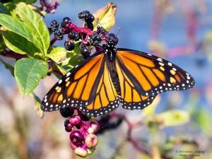 Monarch adult edit