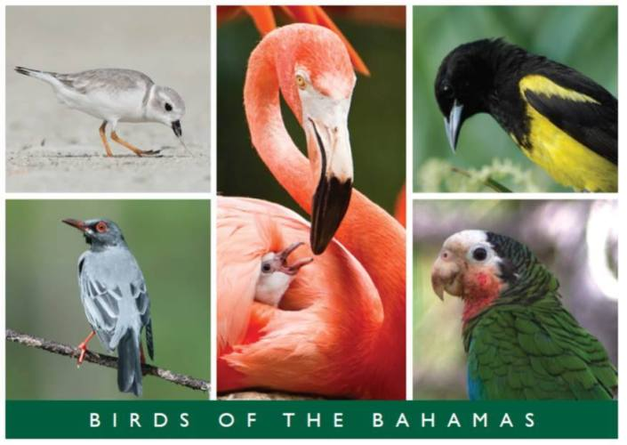 birds of the bahamas postcard