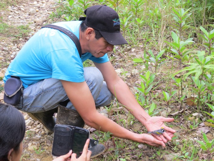 Miguel Ramirez releases a Golden-winged Warbler with a geolocator in Rio Dulce. Photo by Ruth Bennett.