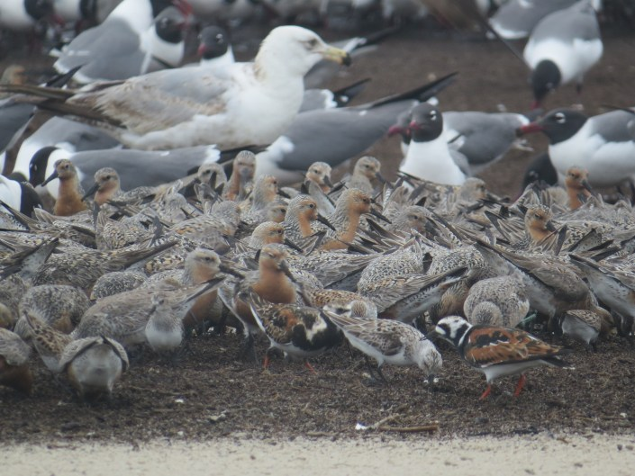 Shorebirds at Reed's Beach @ Bob Bocci