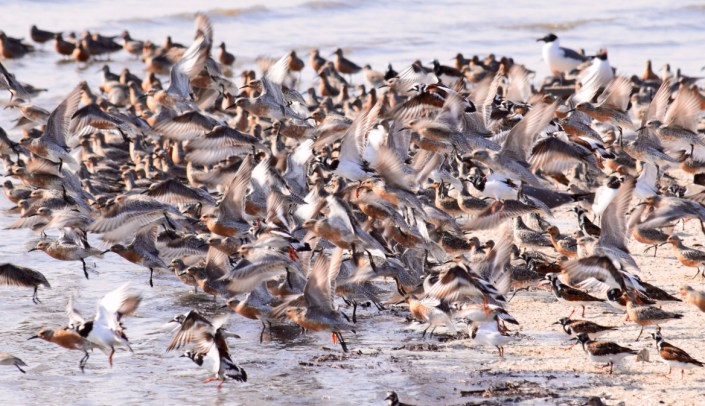 Red Knots in flight on Cooks Shoal. Photo by Stephanie Feigin.