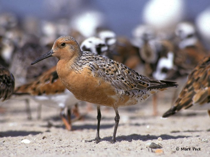Red Knot photo by Mark Peck.