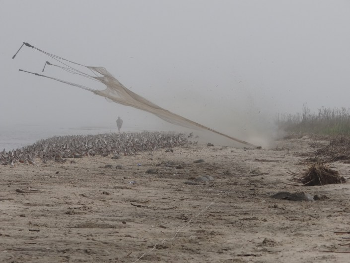 Cannon net firing over red knots on Delaware Bay