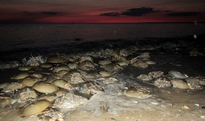 Horseshoe crabs breeding at night.