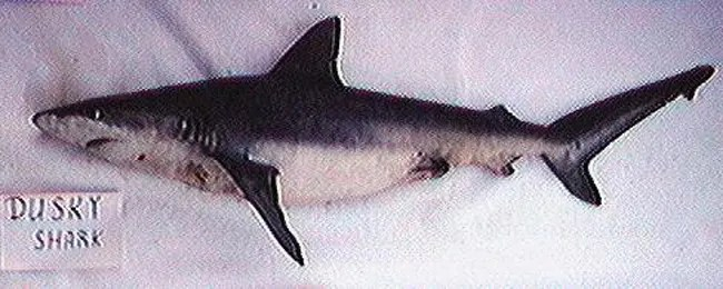 A dusky shark. Photo by NOAA.