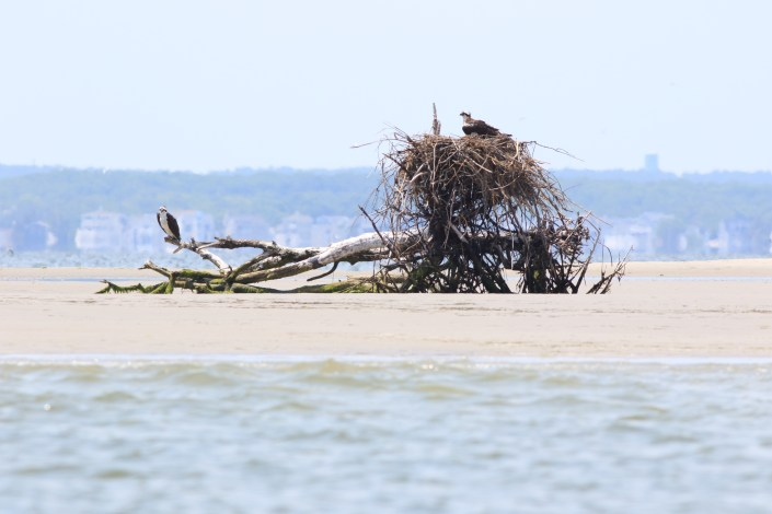 The nest exposed at low tide.